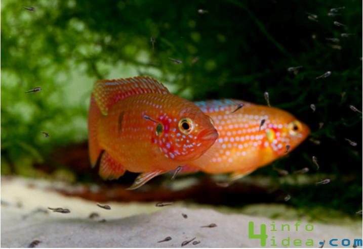 mücevher balığı 1